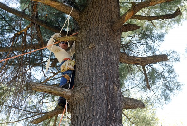 Brent Bibles of Unity College climbs up in a 90-foot white pine tree on Kenduskeag Avenue in Bangor on Monday to rescue two baby bald eagles whose mother fell ill and father died.