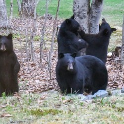 Orono man gets a surprise: 4 bears living not far from his front door