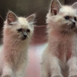 It's raining kittens: Bangor Humane Society to host annual Kitten Shower
