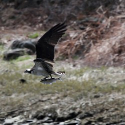 An osprey flies off with an alewife snack.