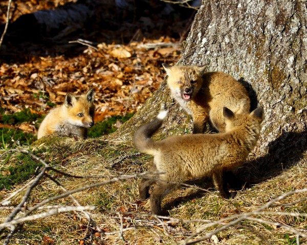Red fox kits at play in Old Town.