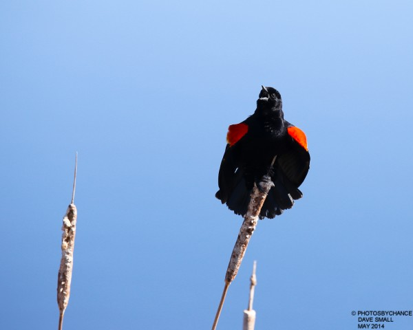 Red-winged blackbird on its perch.