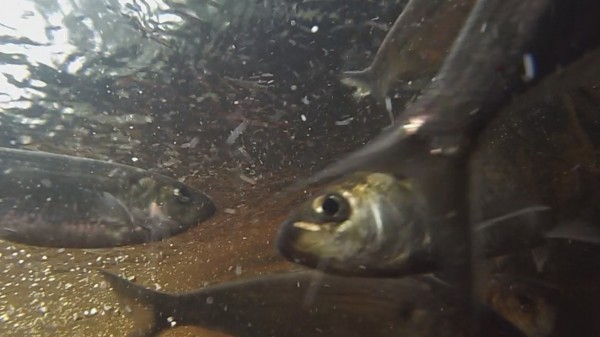 Alewives vie for position in a fishway on Blackman Stream in Bradley, Maine.
