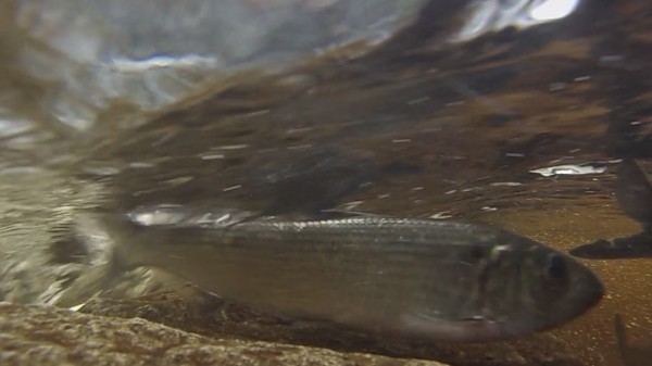 Alewives make their way up through a fishway on Blackman Stream in Bradley, Maine, recently.