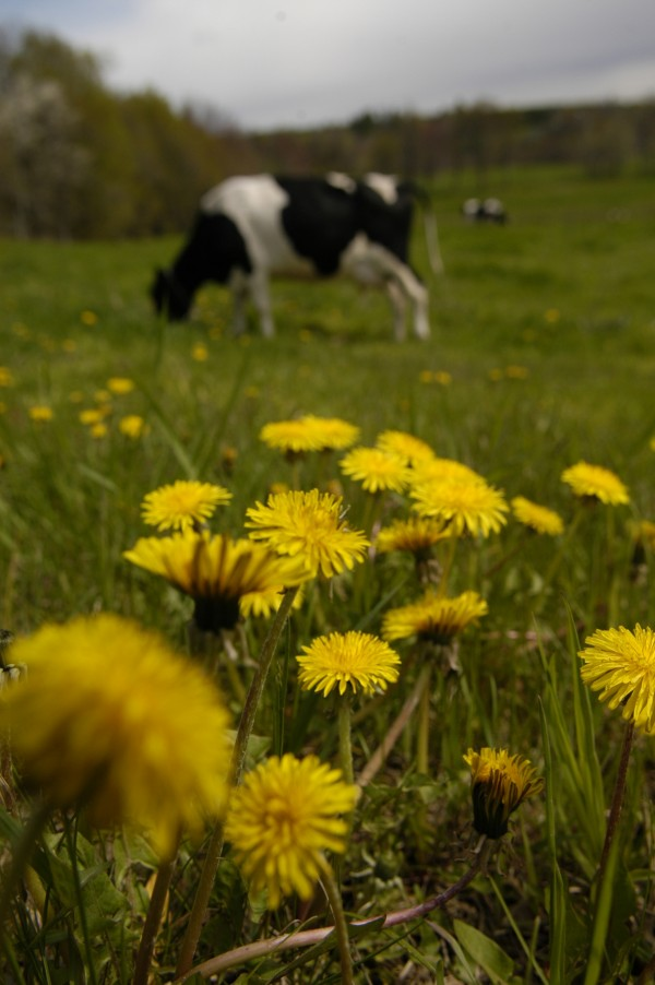 Dandelions, such as these in a pasture in Monroe, are nature's way of letting Mainers know that spring has arrived at last.