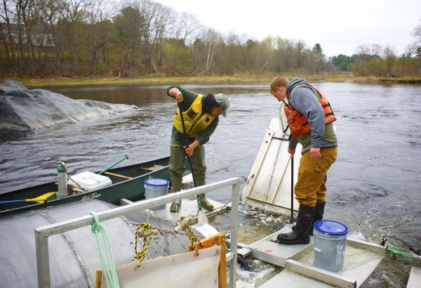 From left, Derik Lee and Andrew Gibbs, both field techs with the Maine Department of Marine Resources net Atlantic salmon smolts Thursday afternoon on the Piscataquis River to move them into buckets, tag and then release the fish.
