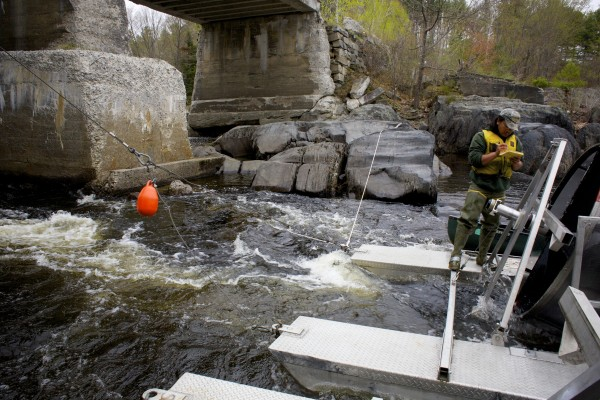 Field tech Derik Lee makes notes after capturing Atlantic salmon smolts from a Maine Department of Marine Resources trap Thursday afternoon on the Piscataquis River.