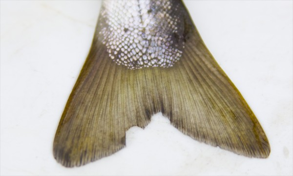 The tail fin of an Atlantic salmon smolt is clipped as a way of tagging the fish by Maine Department of Marine Resources biologists Thursday morning on the Piscataquis River. Biologists have been studying the endangered fish as part of an effort to repopulate the endangered fish.