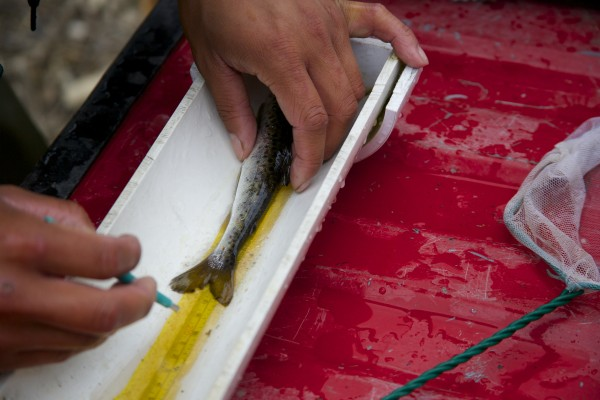 Derik Lee clips the tail fin of an Atlantic salmon smolt Thursday afternoon on the Piscataquis River. Lee is a part of a team of Maine Department of Marine Resources biologists that capture, tag and release the smolts in an effort to study the endangered fish.