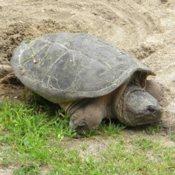 Three U.S. turtles receive international trade protection