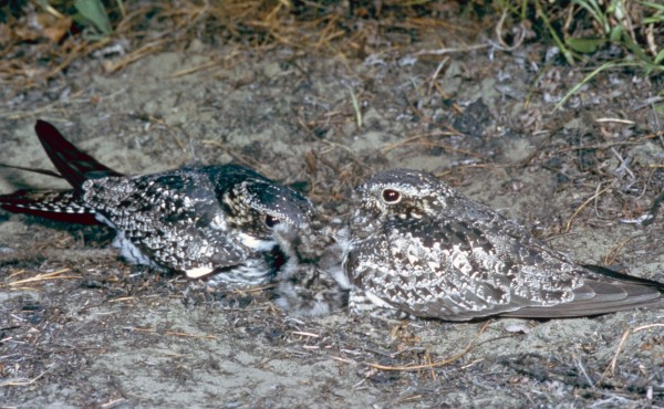 Nesting whip-poor-will couple with fledglings