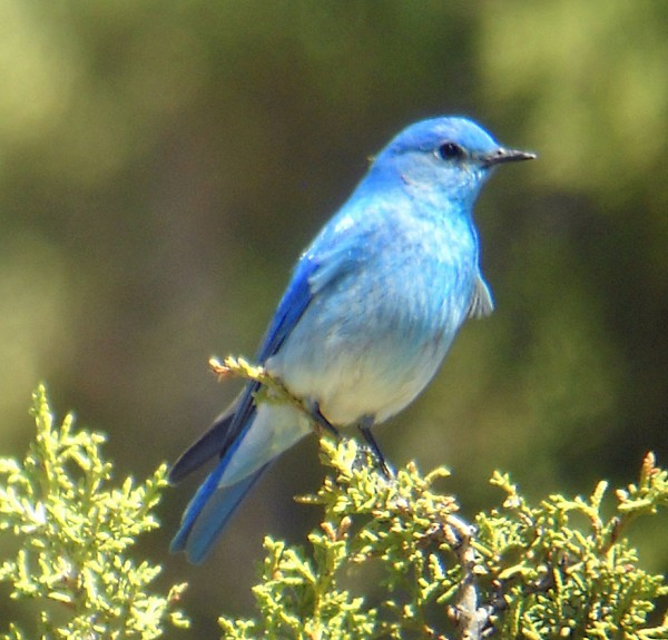 Atraer Bluebirds a su patio trasero | Alabama al aire libre