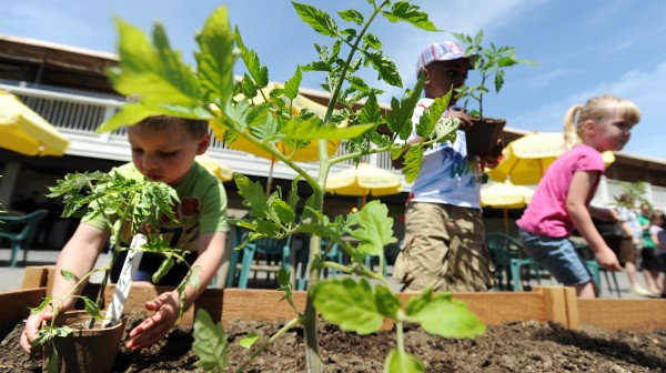 Bangor YMCA preschool class children transplant tomato plants during the Sea Dog Kid's Garden Club planting day at the restaurant in Bangor on Wednesday morning.