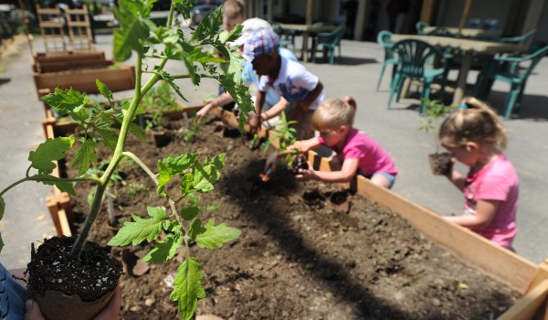 Bangor YMCA preschool class children transplant tomato plants during the Sea Dog Kid's Garden Club planting day at the restaurant in Bangor on Wednesday, June 11.