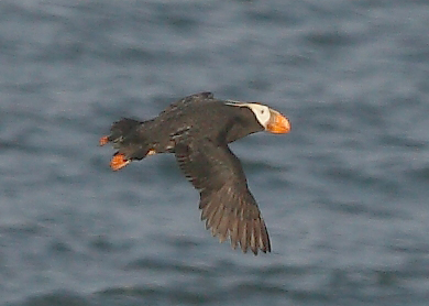 A tufted puffin, essentially unheard of in the Atlantic, showed up on Machias Seal Island on June 17, 2014 and was photographed by the lighthouse keeper.