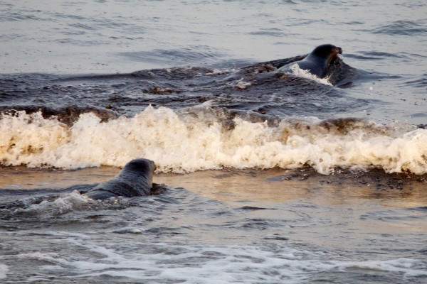 A pair of seals break into the surf on a beach in Biddeford Tuesday night after being released by the University of New England's Marine Animal Rehabilitation Center.
