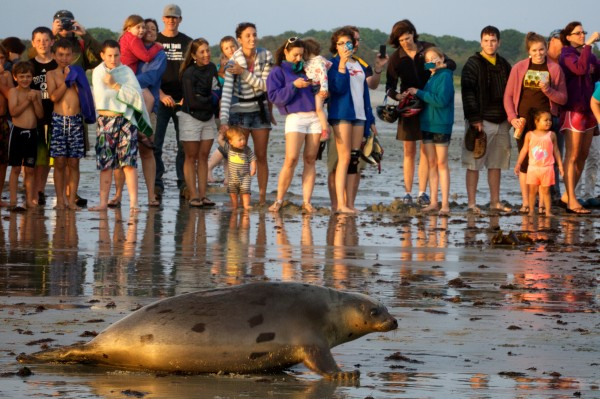 Children and adults snapped pictures, cheered and shouted encouragements as five seals were released back into the wild Tuesday night in Biddeford. The pinnipeds were the last animals cared for by the University of New England's Marine Animal Rehabilitation Center, which is closing.