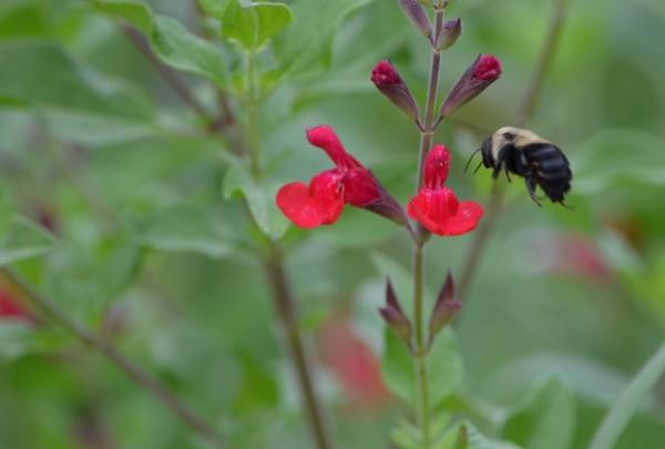 A honeybee lands on a flower.