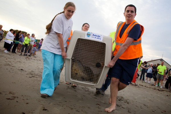 Staff from the University of New England's Marine Animal Rehabilitation Center haul a harp seal named Babbidge onto the beach in Biddeford on Tuesday night. The seal, along with four others, was then released back into the ocean to the whoops and cheers of an assembled crowd.