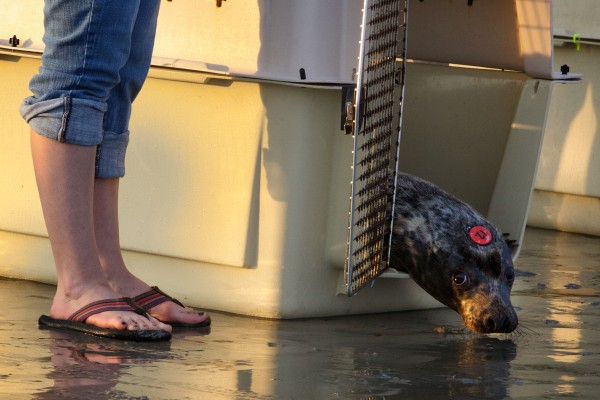 A reluctant gray seal named Stratton inches its way out of a crate Tuesday night in Biddeford as the University of New England's Marine Animal Rehabilitation Center released its last five animals back into the wild. The university is closing the center after more than a decade of nursing marine wildlife back to health.