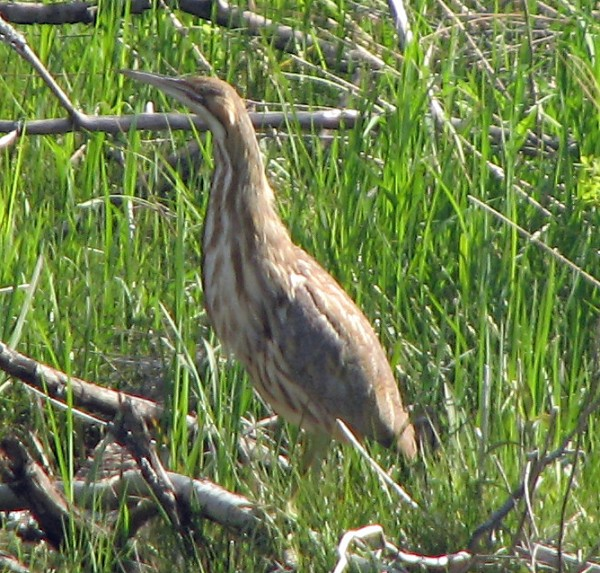 An American bittern is one of the birds &quotThe Cardinal Sins&quot hoped to find during this year's birdathon.