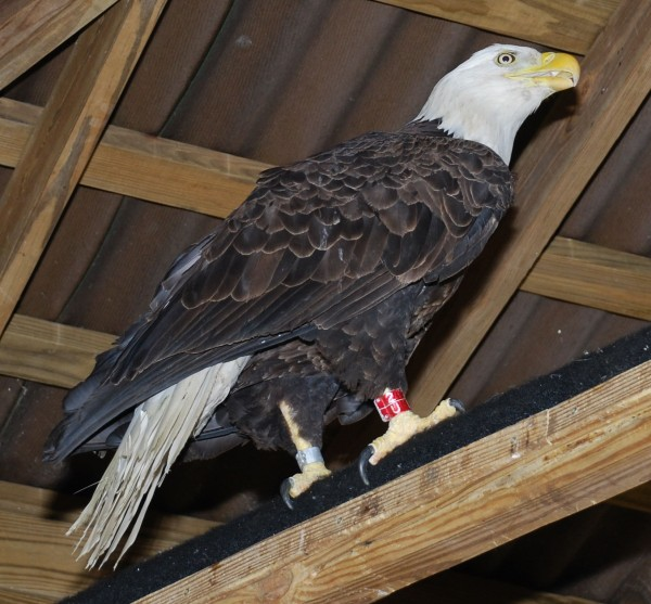 The female eagle that fell ill in Bangor in May stands on a perch at Avian Haven in Freedom. The eagle  is scheduled to be released back into the wild on June 3 in Brewer.