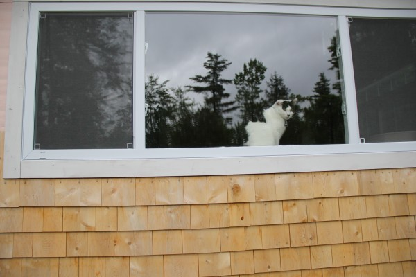 A cat gazes out the window Saturday at Jennifer Jacques' 'itty bitty' Orland home.