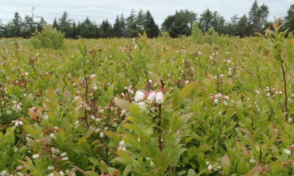 Lowbush blueberries in bloom at the University of Maine Blueberry Hill Farm in Jonesboro.