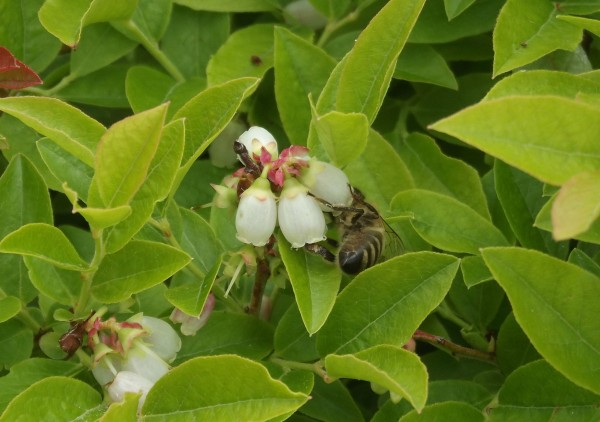 A honeybee gathers nectar from blueberry blooms at the University of Maine Blueberry Hill Farm in Jonesboro.