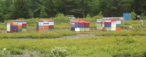 Rented beehives of honeybees are at the University of Maine Blueberry Hill Farm in Jonesboro.