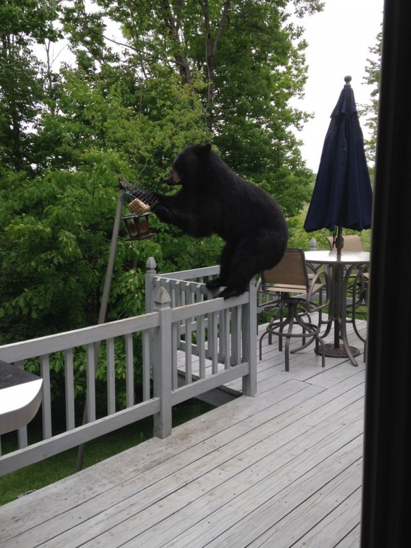 A black bear nicknamed by Hermon residents as &quotThe Miller Hill Bandit&quot steals a suet cake meant for birds from the backyard of a Hermon home at about 11 a.m. on June 10, 2014.