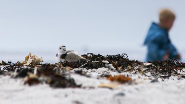 A piping plover nestles into some dried rockweed Sunday, May 25, at Crescent Beach State Park in Cape Elizabeth, while 4-year-old Johannes Wendlen of Boston, Massachusetts, strolls past.