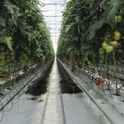 Maine tomato grower finishes second greenhouse