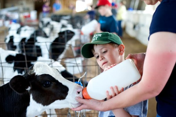 Lindell, 7, practices feeding a calf at Stonyvale Dairy Farm.