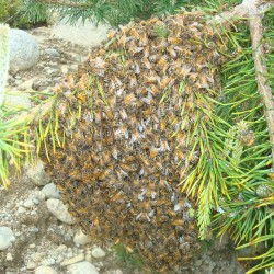 Maine's bee population taking hard hits from weather, illness and chemicals