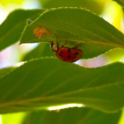 Managing garden herbivores, Part 2: Japanese beetles