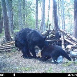 The ills of feeding bears fatty junk food: bear-human conflict, growing bear populations