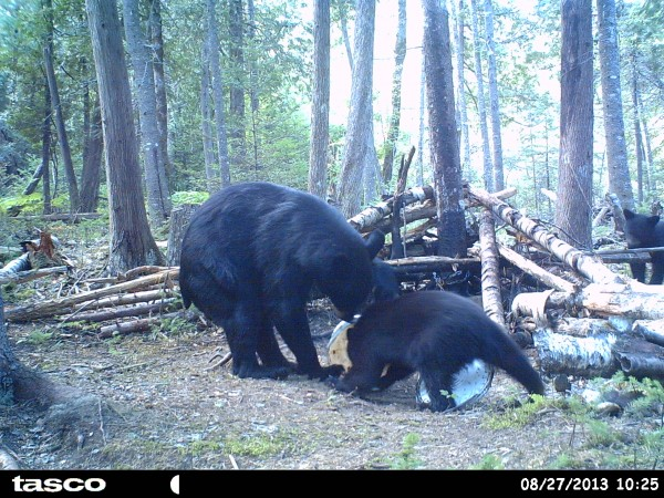 A mother bear urges her yearling cub toward a bait bucket in this August 2013 file photo.
