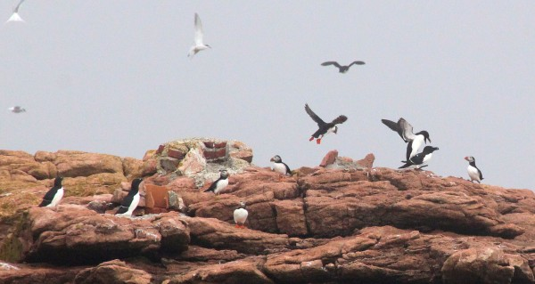 Atlantic puffins and razorbills fly at Petit Manan Island, Maine