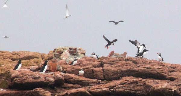 Atlantic puffins and razorbills fly at Petit Manan Island, Maine