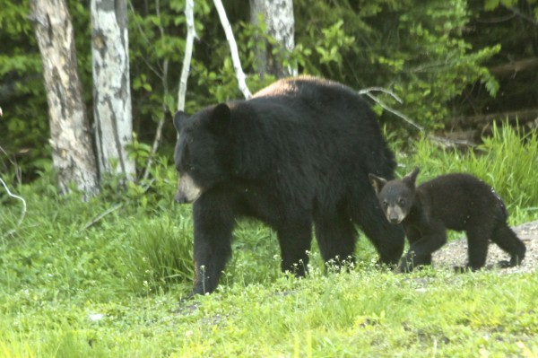 An adult black bear and her cub graze in a field in Hancock County on June 3.