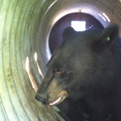 Injured black bear removed from underneath downtown bridge, later euthanized