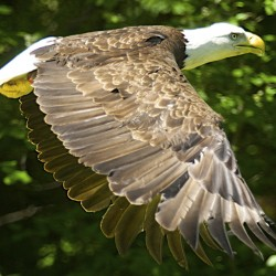 Climbers scale 80-foot tree to rescue injured baby bald eagle