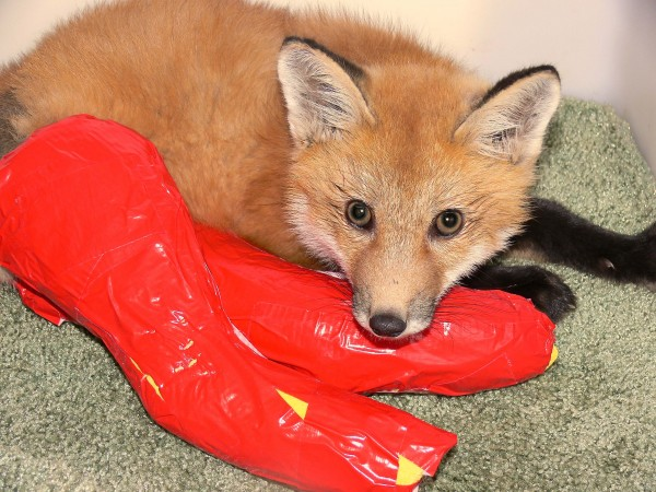 A red fox pup that was struck by a car in Somesville during May 2014 was brought to Acadia Wildlife Foundation in Bar Harbor. Director of the foundation, Anne Rivers, brought it to a veterinarian, where it was determined the fox had two broken hind legs (five fractures in all). The fox underwent two surgeries and his legs were placed in casts. The plan is to release him into the wild after he heals. Donations can be made to fund his medical care during spring-summer 2014 at www.acadiawildlife.org.