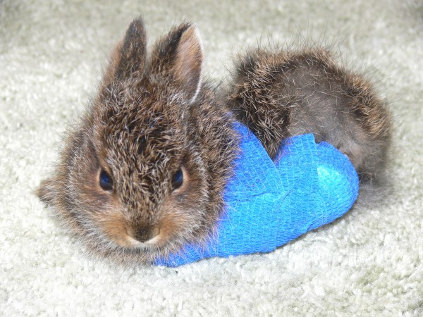 A young snowshoe hare that was struck by car was brought to Acadia Wildlife Foundation in Bar Harbor in spring 2013. The rehabilitation clinic put its broken hind leg in a cast. The hare healed and was released into the wild later that summer.