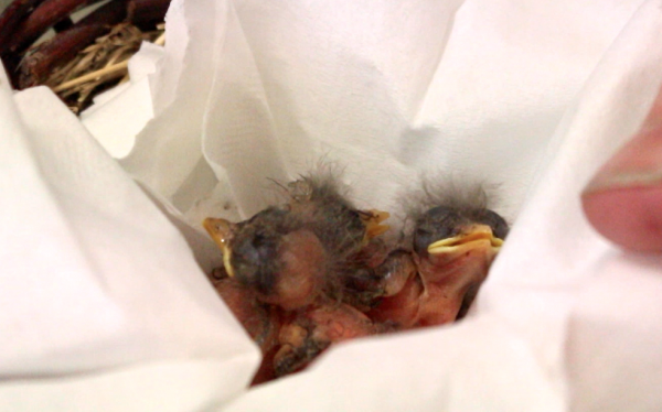 Anne Rivers, director of Acadia Wildlife Foundation, a nonprofit that rehabilitates Maine animals, feeds three phoebe chicks that are just days old on June 6, 2014, in Bar Harbor.