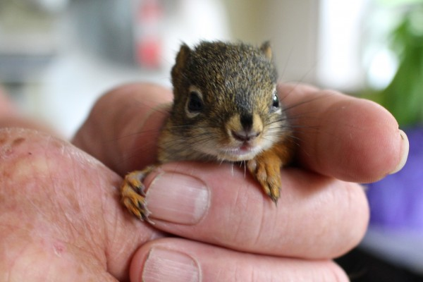 George Smith, who used to rehabilitate injured and orphaned Maine wildlife 15 years ago, holds a 3-week-old red squirrel he's assisting the DIF&W rehabilitate on June 4, 2014, at his home in Orono.