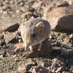 Size doesn't intimidate masked shrew