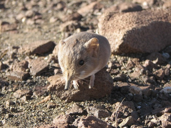 A Macroscelides micus elephant shrew, discovered in the remote deserts of southwestern Africa, resembles a long-nosed mouse in appearance but is more closely related genetically to elephants.