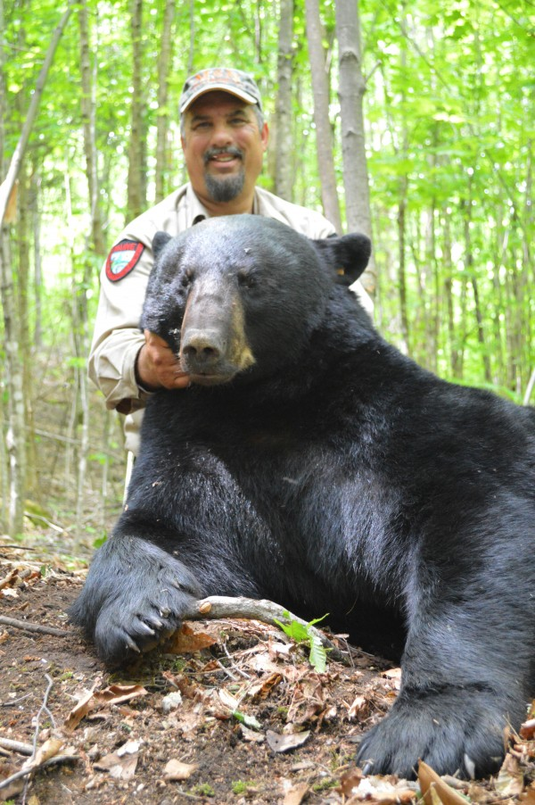 Wildlife biologist Randy Cross, leader of the field crew for the Maine Department of Inland Fisheries and Wildlife's 40-year bear study, poses with &quotBig John,&quot a 432-pound black bear that was snared, weighed and released in Washington County on June 17, 2014.